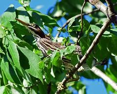 DSC_3109=3GRHeron (laurie.mccarty) Tags: grenheron intree wildlife nature nikond810 nikon birds d810 300mm28lens greenbackground heron lauriemccartyphotos