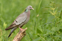 Holenduif - Stock Dove (Carolien114) Tags: duif vogels holenduif glennvermeerschhut2 schuilhutfotografie bird birdhide birds columbaoenas stockdove