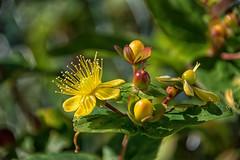 Neighbourly (Shastajak) Tags: hypericumandrosaemum bokeh yellow flower mygarden hbw