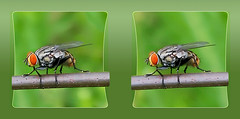 Flesh Fly on a Wire 2 - Parallel 3D (DarkOnus) Tags: sarcophagidae flesh fly wire pennsylvania buckscounty huawei mate8 cell phone 3d stereogram stereography stereo darkonus closeup macro insect parallel fdf hfdf flydayfriday day friday