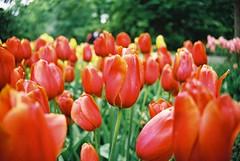 000030 (seustace2003) Tags: keukenhof nederland niederlande holland pays bas paesi bassi an sitr tulip tulp tulipan tiilip tulipa
