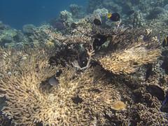 DJIBOUTI (40 of 88) (GregoireDubois) Tags: djibouti nature sea diving wildlife corals