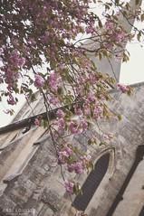 Blossom By The Church. (Abbi Louise Photography) Tags: angle nikon1855mmdxvr nikon1855mm nikond3200 d3200 yorkshire summer flowers matte preset mattepreset blossom knaresborough stavely church