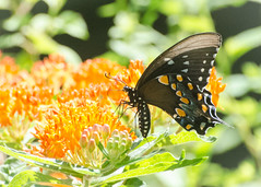 Spicebush Swallowtail on Butterfly Weed (hickamorehackamore) Tags: 2016 asclepias asclepiastuberosa butterflyweed ct connecticut haddam nwf spicebushswallowtail swallowtail backyard butterfly certified habitat native summer wildlife