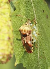 Parent Shieldbug - Elasmucha grisea (Prank F) Tags: rspb thelodge sandy bedfordshireuk wildlife nature insect macro closeup bug shieldbug parent elasmuchagrisea eggs