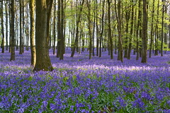 enchanted forest colours (C-Smooth) Tags: enchanted forest nature purple trees leaves flowers landscape woodland bluebells colours walk