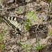 Papilio machaon Eiablage 160815 152.jpg