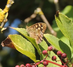Speckled Wood (Pararge aegeria) (Turtlerangler) Tags: pararge butterfly leightonmoss cumbria uk