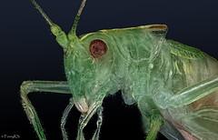 Grnes Heupferd (reneschulze66) Tags: stacking grasshpfer sony stackshot schneider kreuznach grn green macro makro a58 alpha 58 insekt