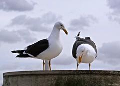 Seagulls_07778-imp (John van Rhijn) Tags: seagulls vlaardingen maasboulevard zeemeeuwen sonydschx200v johnvanrhijn