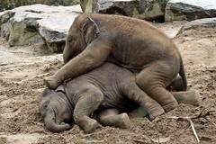 Ravi en Radza Junior (K.Verhulst) Tags: elephant ravi elephants emmen noorderdierenpark olifanten dierentuinemmen asiaticelephants aziatischeolifanten radzajunior