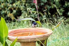 _MG_8491 (rojam1000) Tags: superb fairy variegated wren