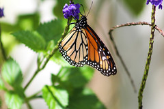 Michael 1-52 (BAMphotos1) Tags: flowers summer nature floral canon butterfly garden photography spring colorful bright butterflies vivid sunny micro botanicalgarden naturephotography canoneosrebel canont5 canonrebelt5