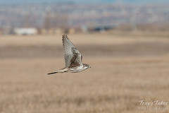 Prairie Falcon flyby sequence - 3 of 8