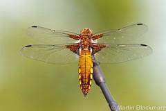 IMG_16574web (wildlifetog) Tags: uk wild england canon insect island martin britishisles britain wildlife insects vectis southeast blackmore wildlifeeurope eos7d mbiow