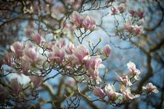 Magnolia (clearfotografie) Tags: detail nature deutschland dresden nikon natur magnolia farben frühling f12 d600 nikkorsauto55mm112