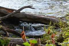 Consumed [Niagara Falls - 21 August 2014] (Doc. Ing.) Tags: wood wild summer usa ontario canada nature water river niagarafalls niagara northamerica on 2014 goatisland niagarariver threesistersisland