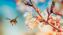 Bumblebee (Subdive) Tags: spring bumblebee cherryblossom vår