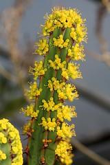 Euphorbia ledienii (Pterodactylus69) Tags: flower fleur succulent flor euphorbia botany blte spurge euphorbiaceae botanik wolfsmilch sukkulent