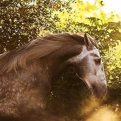 Yeguada Algaida . De noble linaje . (yeguadaalgaida) Tags: horses square caballos squareformat cavalos mga pferde cavalli pura konie kuda hevoset hester andalusian chevaux español paarden 馬 andaluz kone raza española perde nees 말 hästar koně heste kabayo خيل סוסים лошади konji atlar lovak коні hobused ม้า chwal cartujano άλογα коне 馬匹 kuajt घोड़े iphoneography адуу 马匹 instagramapp uploaded:by=instagram ձիեր ঘোড়া ცხენები घोड़ों ઘોડા ịnyịnya घोडाहरू ಕುದುರೆಗಳು අශ්වයන් dawakai