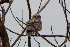 Great Horned Owl owlet checking out the world