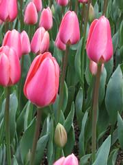 IMG_6114 (Gkmen Kmrt) Tags: tulips tulip 2014 emirgan laleler