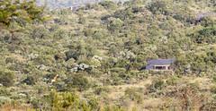 #66 and the Giraffe (Sheldrickfalls) Tags: southafrica 66 giraffe mpumalanga lydenburg site66 kuduranch kuduprivatenaturereserve kudugameranch