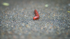 DSC04886 (chicago_tarot) Tags: macro nature bug insect minolta legs centipede millipede