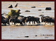 BLUE WILDEBEEST (Connochaetes taurinus) CROSSING MARA RIVER.......MASAI MARA......OCT 2015 (M Z Malik) Tags: africa nikon kenya wildlife safari masaimara marariver maraserena d3x transmara exoticafricanwildlife 200400mm14afs