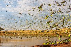IMG_7244.jpg (Paul Williams www.IronAmmonitePhotography.com) Tags: bird budgerigar summer murmuration dryseason melopsittacusundulatus australia