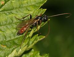 Ichneumon sp. (S. Rae) Tags: ichneumon hymenoptera