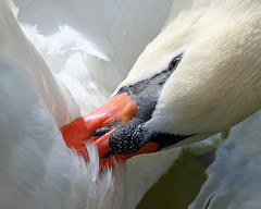 taking care of my feathers ^ (Dianne M.) Tags: orange white lake nature swan florida birding feathers preening lakeland plumage