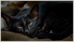Black Kitten (psnapped) Tags: black kitten nikon d7000 sleepyhead pet flickrunitedaward flickrphotographer flickrworldwide flickrcentral naturalillumination nikondslrusers