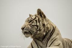 IMGP1964 (acornuser) Tags: uk kent pentax sanctuary bigcats whitetiger k3 wildlifeheritagefoundation whf