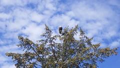 sandspit (FabienA380) Tags: sky canada tree nature clouds island bc pentax britishcolumbia baldeagle nuages graham arbre ricoh birdofprey wildlie