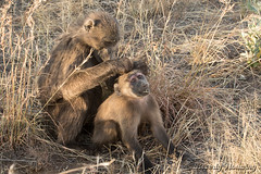 018-Baboons_005 copy (Beverly Houwing) Tags: africa grass sunshine sitting grooming namibia primate bonding chacmababoon fastidious