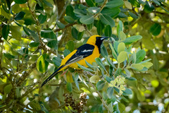 Hooded Oriole (Chase McMunn) Tags: arboretum sanluisobispo calpoly hoodedoriole