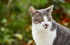 Candid (BHiveAsia) Tags: cat cats kitten kitty animal animals feline felines pet pets wild wildlife life nature portrait cute neko