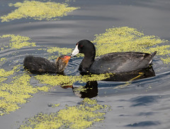 LOOK AT THAT SPARKLY BABY EYE! I DARE YOU ZOOM AND LOOK AT IT <3 (Adriana Faciu) Tags: lake reflection bird nature water st pond eyes feeding outdoor mommy albert young sparkle american coot fledgeling