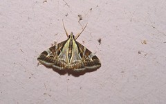 Fig Moth (dustaway) Tags: australia lepidoptera nsw arthropoda lismore insecta crambidae northernrivers spilomelinae australianmoths agrioglyptaexcelsalis