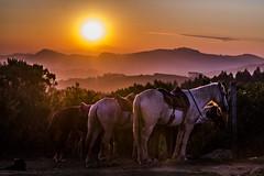 Orange Horses (leocsaad) Tags: sunset sun set sol por do nascer amanhecer entardecer horses cowboy horse light shadow animals animais natureza mountain montanha vaqueiro cavalo cavalos rise sunrise monte verde minas gerais so paulo camanducaia larry