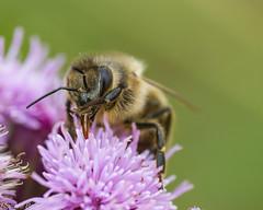 honey bee (RCB4J) Tags: ayrshire rcb4j ronniebarron scotland sonyslta77v tamronspaf90mmf28dimacro11 art bokeh flowers insects macro photography apis bee honeybee