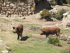 "Lac Titicaca: l'Isla del Sol et ses cochons <a style=""margin-left:10px; font-size:0.8em;"" href=""http://www.flickr.com/photos/127723101@N04/28492247462/"" target=""_blank"">@flickr</a>"