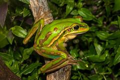 Litoria aurea (ROCKnVOLE Photography) Tags: litoria aurea frog