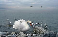 Genfersee (welenna) Tags: switzerland schwitzerland see view vgel lake light swiss swan schwan mwe mwen genfersee genevelake vevey lakegeneva laclman abend evening bird vogel