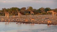 Giraffe, Impala and Shore Birds at Watering Hole at Dusk, Etosha National Park, Namibia (HDR) (dannymfoster) Tags: africa namibia etosha nationalpark etoshanationalpark animal giraffe impala shorebird wateringhole dusk