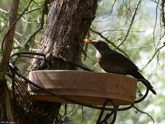 Blackbird (Geminiature Nature+Landscape Photography Mallorca) Tags: merel beak mirlo pico snavel blackbird vogels aves aus birds mallorca barth bao pool badje vogelbad largo langere longer