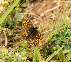 Heath Fritillary butterfly (DigPeter) Tags: bulgaria butterfliesfritillaries butterflymoth europe heathfritillary peterphoto dobrostan plovdiv