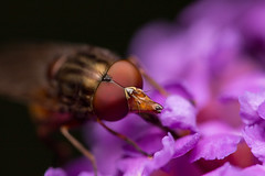 Hoverfly (Paul A Wiles) Tags: hoverfly lavender closeup macro raynoxdcr250