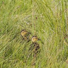 Mallard chicks (ingolfssonvalur) Tags: stokkönd ungar mallard chicks birds wildlife iceland nature